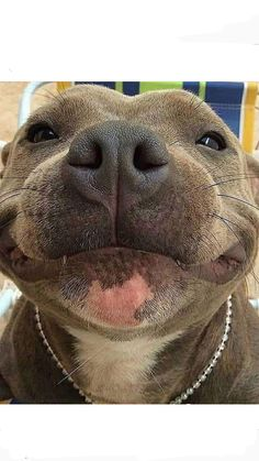 This cute pitbull puppy will warm your heart. Dogs are wonderful friends. Cute Little Animals, Cute Funny Animals, Funny Dogs, Funny Dog Faces, Beautiful Dogs, Animals Beautiful, Beautiful Smile, Cute Pitbulls, Staffy Dog