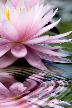 open pink waterlily