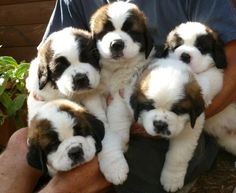THIS ADORABLE HANDFUL OF PUPPIES. | Community Post: 15 Saint Bernard Puppies Who Are Just Too Adorable For Words