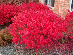 Check out the deal on Dwarf Burning Bush –Euonymus alatus 'Compacta' - Potted - 3 Pack at Growers Solution Landscaping Plants, Front Yard Landscaping, Garden Plants, Landscaping Ideas, Potted Plants, Landscaping Borders, Inexpensive Landscaping, Dwarf Burning Bush, Compact