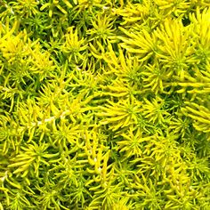 39 best succulent groundcover images on pinterest succulents sedum angelina angelina is an award winning bright yellow variety with needle shaped leaves yellow flowers bloom in mid summer mightylinksfo