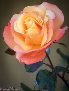 Rose. Image by Pat Kofahl
