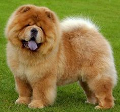 38 Popular Chow Dog Pictures for Dog Lovers
