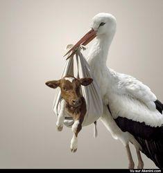 La cigogne et le petit veau - The stork and the little calf