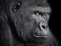 Gorilla portrait by Cesar March, via 500px