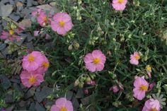 Rock rose (summer)