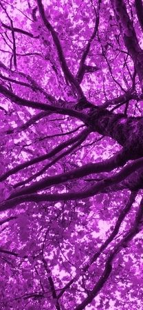 Aww,,,purple trees would be awesome! Purple Love, All Things Purple, Purple Lilac, Shades Of Purple, Deep Purple, Purple Stuff, Purple Trees, Purple Flowers, Color Uva