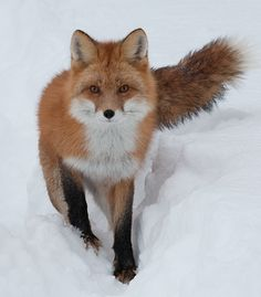 red fox in the snow Pretty Animals, Most Beautiful Animals, Cute Animals, Nature Animals, Animals And Pets, Wild Animals, Baby Animals, The Snow, Fennec