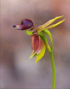 Stunning! Flying Duck Orchid