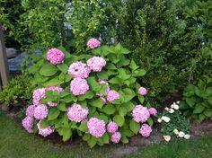 Bauernhortensie: gut feucht halten (ohne Staunässe). Schatten bis Halbschatten. Triebe nicht zurückschneiden. Blaue Blüte: pH 4-4,5 + Aluminium (z.B. Rhododendronerde oder Kalialaun aus der Apotheke). pH nicht über 7,5. Pflanzen bzw. Umsetzen im Frühjahr.