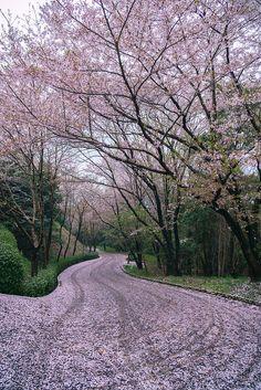 Pink carpet with cherry petals, Kagawa, Japan