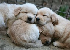 Three adorable sleeping puppies ... awwwww!
