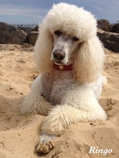 Ringo: Oh no, I've lost my ball.  #WhiteStandardPoodle