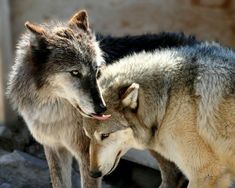 Beautiful Wolves, Beautiful Dogs, Types Of Wolves, Wolf Goddess, Wolf Stuff, Wolf Spirit Animal, Howl At The Moon, Wolf Quotes, Wolf Love