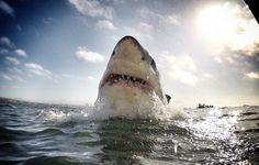 Cerca de 100 milhões de tubarões são mortos, todos os anos, para fins comerciais. Um grupo conservacionista tenta chamar a atenção para este facto com uma