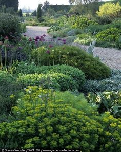 Euphorbia and Alliums in the border at The Beth Chatto Gardens, late May (photo by Steven