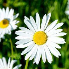 prestekrage - Google-søk My Secret Garden, Flora, Plants, Inspiration, Google, Biblical Inspiration, Plant, Planting, Inhalation