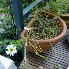 Ein einziger Stängel dieser Sorte hat den Schneckenfraß überlebt, so konnte ich wenigstens sehen, was es geworden wäre... Plants, Snails, Flowers, Plant, Planets