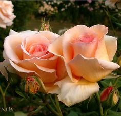 Greenvale Rose Farm | Roses for Sale Results