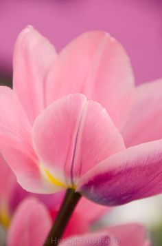 "Tulipa ""Light and Dreamy"""