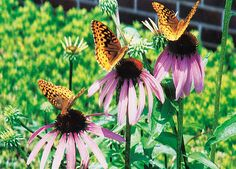 1, 2, 3! I count 3 Great Spangled Fritillaries! by Sue Rogers