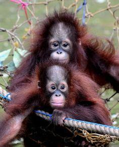 The Stir-Baby Orangutans Who Saw Their Mom Die Are Still Traumatized (PHOTOS)