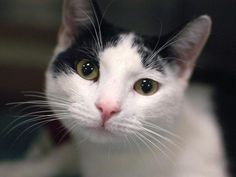 Adoptable Cat: Bradley - Domestic Short Hair Mix (Pleasant Valley, CT) #pets #animals #adoption #rescue #cat