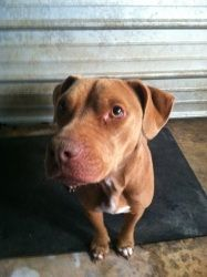 Clover is an adoptable American Bulldog Dog in Chipley, FL. Cover is a female red Bulldog/Lab mix she is already fixed and around 25-30lbs she's 2-3 years old and very sweet she's a little underweight...