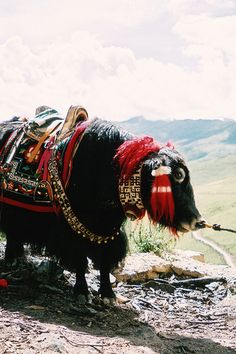 The yak (Bos grunniens and Bos mutus) is a long-haired bovine found throughout the Himalayan region of south Central Asia, the Tibetan Plateau and as far north as Mongolia and Russia. Most yaks are domesticated animals, usually referred to as Bos grunniens. There is also a small, vulnerable wild yak population, referred to as Bos mutus. In the 1990s, a concerted effort was undertaken to help save the wild yak population.
