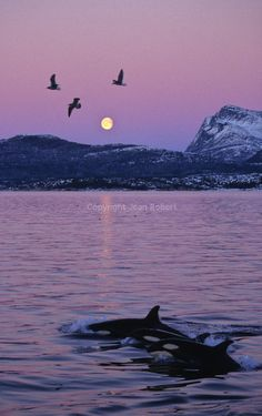 Swimming with killer whales (orcas) Norway | Jean ROBERT Nature and Travel Photography