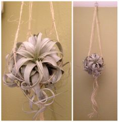 I made this twine macrame plant holder for my Queen of the Airplants Xerographica! I followed the tutorial linked to this photo, but made some adjustments to the knots so the plant would be cradled correctly. Love!