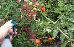 A paradicsomot és az uborkát egyetlen betegség sem támadja meg, mióta ezzel befújtam!
