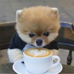 Boo de dwerkeeshond met een kopje koffie