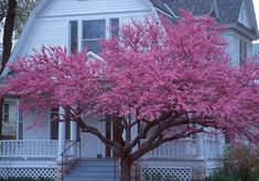 Eastern Redbud: This beautiful garden feature tree is remarkable year round.  It is one of the first trees in the spring to flower before the leaves emerge, a showy purple pink splash of flowers covering the entire tree.  Mature height: 25' but can over time reach 30' Fall Colour: Yellow to gold
