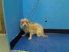 Manhattan Center    RENNY - A0986096    MALE, TAN / BROWN, CAIRN TERRIER / SCHNAUZER MIN, 1 yr  SEIZED - ONHOLDHERE, HOLD FOR EVICTION Reason OWN EVICT   Intake condition NONE Intake Date 11/27/2013, From NY 10031, DueOut Date 12/06/2013   Medical Behavior Evaluation ORANGE   Medical Summary Scanned negative BARH No evidence fleas No dental tartar Intact male NSF Tense, nervous, was snarling, difficult to remove from kennel   Weight 16.5