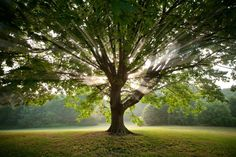 Nature and the Celtic Tree Calendar - Order of Bards, Ovates & Druids Tree Grows In Brooklyn, Arbour Day, Celtic Tree, Growing Tree, Green Trees, Tree Of Life, Trees To Plant, Tree Planting, Bellisima