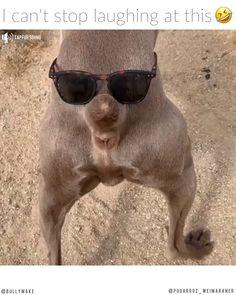 Weimaraner Wiggle Butt - My Picture Bilder Funny Dog Memes, Funny Animal Memes, Funny Animal Videos, Cute Funny Animals, Funny Animal Pictures, Cute Baby Animals, Funny Cute, Funny Dogs, Dog Videos