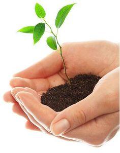 SIEMBRA Y TRANSPLANTE Cambia a una maceta un poco mayor cada año, en primavera. Si es una planta demasiado grande para manipularla con facilidad, sustituye anualmente sólo la capa superior del sustrato (un par de centímetros) por otro nuevo.