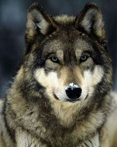 My favorite wolf pic