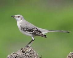 Northern Mockingbird - Whatbird.com