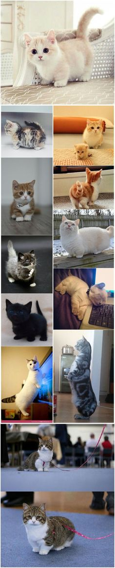 ❤️ 20 + Munchkin Cat Pictures that you will love ❤️ #cat #kittens #pets #animals #cute #funny #paw #purr #memes #photo