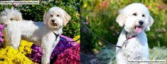 Ears Goldendoodle Lamp Clip: 3/4″ Body Blended Into Longer Legs (Ears Shorter On Left) Goldendoodle Haircuts, Goldendoodle Grooming, Labradoodle, Goldendoodles, Dog Grooming, Poodle Cuts, Haircut Pictures, New Puppy, Cocker Spaniel