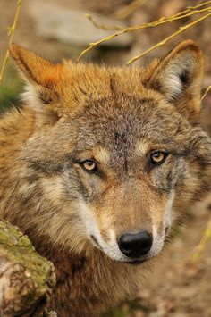 close-up of the Wolf by marco branchi Funny Animal Pictures, Cute Pictures, Funny Animals, Cute Animals, Mon Zoo, Alpha Wolf, Wolf Face, Howl At The Moon, Timber Wolf