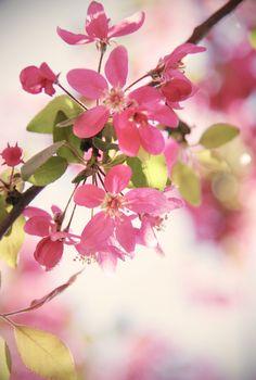 Cherry blossom | by Kotomi_