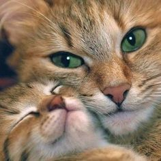 The mama cats in these stories have that motherly instincts and will do whatever it takes to protect their youngsters, even if their kids aren't the same species. cute cat and kittens Cute Cats And Kittens, I Love Cats, Crazy Cats, Kittens Cutest, Animals And Pets, Baby Animals, Funny Animals, Cute Animals, Funniest Animals