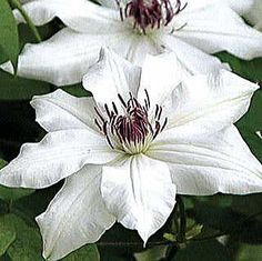 Vancouver™ Fragrant Star Clematis late spring - early fall full sun / part shade rose companions group2