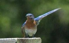 Awesome link on attracting blue birds - Top Tips and Tricks to Attract Bluebirds