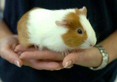 petco guinea pigs for sale - Google Search