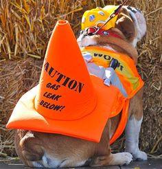14 Trendy English Bulldog Halloween Costumes - Dog Red Line 14 trendige englische Bulldogge Ha. Bulldog Costume, Best Dog Halloween Costumes, Pet Costumes, Costume Ideas, Halloween 2, Costume Contest, Bulldog Puppies For Sale, English Bulldog Puppies, English Bulldogs