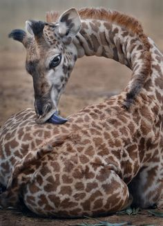 sdzoo: Spot remover by Ion Moe A one month old giraffe takes a tongue bath at the San Diego Zoo.